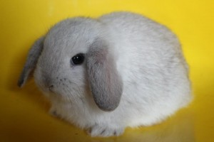 กระต่ายหูตก