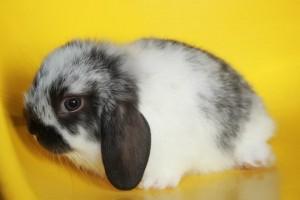 กระต่ายหูตก เกรดเลี้ยงเล่น