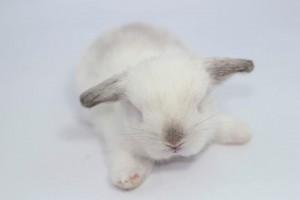 กระต่ายหูตก holland lop